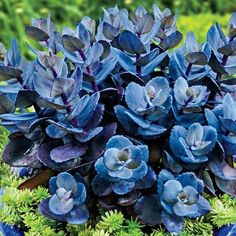 Blue Pearl Sedum (perennial, full sun, low water/drought tolerant)