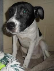 Bob is an adoptable Jack Russell Terrier Dog in Portsmouth, OH. Found on Scioto Trail with litter mate Bob. Very shy puppy that needs a very special forever home....