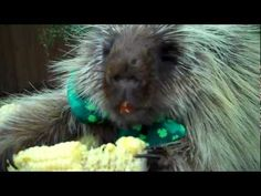 Pots of Gold Look Different to Different Critters. This adorable little porcupine makes such cute sounds - like it's talking. Sort of reminds me of Cousin Itt from The Addams Family!