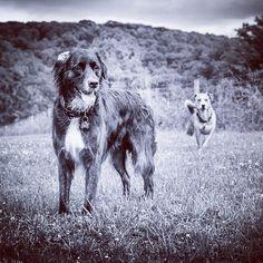 Beautiful shot of Charlie & Colin running the fields of the farm. Stolen from @cimiboni . #evasplaypupspa #badassbk #dogdaysofsummer #dogsofinstagram #endlessmountains #mountpleasant