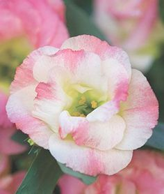 Lisianthus Pink Champagne | Lisianthus 'Pink Champagne' - I absolutely love lisianthus!!!