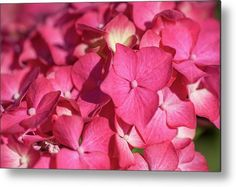 Pink French Hydrangea Macro 1 Metal Print by Jenny Rainbow. All metal prints are professionally printed, packaged, and shipped within 3 - 4 business days and delivered ready-to-hang on your wall. Choose from multiple sizes and mounting options. Art Prints For Home, Home Art, Fine Art Prints, All Flowers, Beautiful Flowers, Poster Prints, Framed Prints, Everything Pink, Got Print