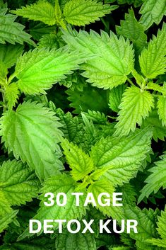30 Tage detoxen mit Brennnessel A regular detox cure (detoxification) is a great relief for the body. Because poisons are … Juice Cleanse Recipes, Detox Recipes, Smoothie Recipes, Detox Lunch, Detox Salad, Herring Recipes, 30 Day Detox, Detox Kur, Lose Weight