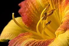 Day Lily Close Up Print By Donald Erickson Blooming Flowers, Day Lilies, Fine Art Photography, Wall Art Decor, Office Decor, Close Up, Lily, Art Prints, Paint Flowers