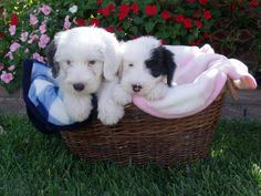 Ozzy and Lucy as puppies-Old English Sheepdogs