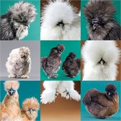 Silky Bantams...great for beginners.  Can't wait to start our chicken raising adventure!