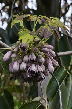 Holboellia angustifolia (fargesii) : grimpante parfumée,  feuillage persistant, pour ombre ou mi-ombre. Rustique -18°C.  Pep des Avettes