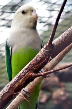 Inseparable Malgache (Agapornis canus) --> De entre 13 y 15 cm de longitud y un peso entre 25 y 31 gramos.  Tiene la cabeza y el cuello de color gris pálido. Manto y escapularios verdes; grupa con un verde mucho más brillante que el resto de las partes superiores. Por arriba, las coberteras alares verdes, álula oscura. Plumas de vuelo verdes por encima, más oscuro hacia la punta y márgenes a las redes externas; de color marrón grisáceo por abajo. Por abajo, las coberteras alares de color…