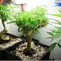 Cannabis bonsai  #love #hrblife #highlife #vape #vaporizers