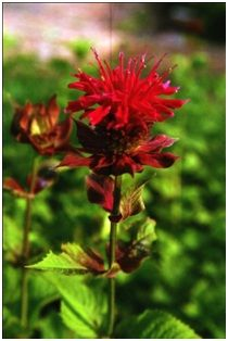 Bee balm is native to North America and various species occur all over the continent.  Bee balm is propagated from either seeds or cuttings.  To keep the clumps of plants healthy and free of powdery mildew, they need to be divided every three years.