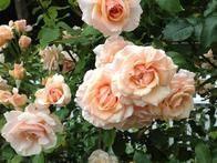 This variety of rose is one of Irwin and Cindy's favorites. 'Mother of Pearl' is always full of blooms. It is a healthy and hardy grandiflora.