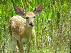 Baby deer, Viera Wetlands, Melbourne, FL