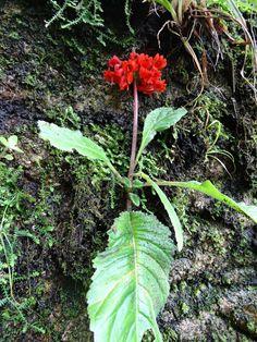 Flora of Mozambique: Species information: individual images: Streptocarpus myoporoides Glass Pavilion, Image Notes, Conservatory, Habitats, Flora, Herbs, Display, Plants, Floor Space