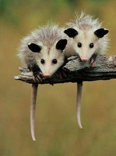 Pair of baby possums