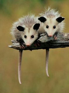 Pair of baby possums