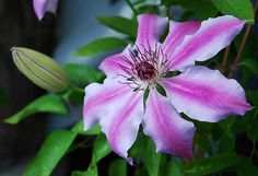 """The stunning """"Nellie Mosier"""" is one of my most favorite vine flowers."""