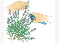 Lavendelzweige schneiden