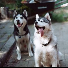 Siberian Huskies: if someone can get me one, I'd be eternally greatful and bloody friggin happy!!!!! <3