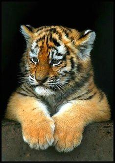Cutie Pie tiger cub just chillin' :) Pretty Cats, Beautiful Cats, Animals Beautiful, Big Cats, Cool Cats, Cats And Kittens, Cute Baby Animals, Animals And Pets, Wild Animals