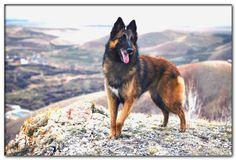 dog breeds beginning with p Belgian Dog, Belgian Tervuren, Belgian Shepherd, Shepherd Dog, Dog Breeds List, Large Dog Breeds, Large Dogs, Hound Puppies, Basset Hound Puppy
