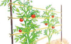 Tomato trellis as a woven row