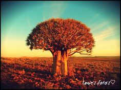 Kalahari Upington SA kokerboom