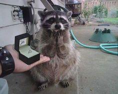 raccoon wedding ring