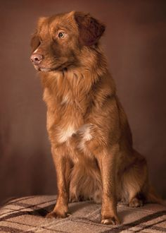 Novascotian duck tolling retriever