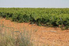 """La próxima campaña de vendimia en la Denominación de Origen Protegida de Vino de Calidad de Valles de Benavente """"será muy buena"""", según ha señalado a Agronews Castilla y León, Teresa Antón."""