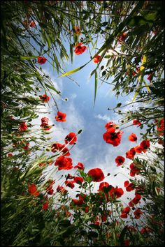 lying on your back looking up through the poppies