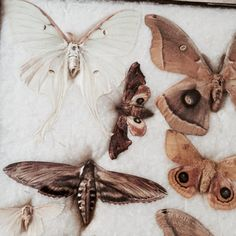 Butterfly Collection 1800s Antique specimen by Eclecticpelican