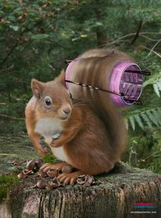 A squirrel with his tail wrapped around a pink hair curler = bad hair day!