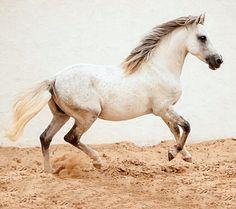 Barb stallion, Carinioso. photo: Bettina Niedemayr.