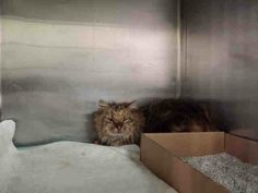 TO BE DESTROYED 12/21/13 Manhattan Center  My name is MOZZIE. My Animal ID # is A0987578. I am a female calico domestic lh mix. The shelter thinks I am about 3 YEARS old. https://www.facebook.com/photo.php?fbid=717350561610112&set=a.576546742357162.1073741827.155925874419253&type=3&theater