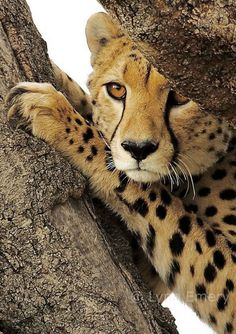 cheetah in a tree, cheetah's are not good climbers