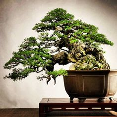Ok, my son bought me a two year old Bonsai like this for my birthday, so here's my model on what it should look like some day!