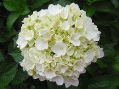 HYDRANGEA WHITE EXTRA