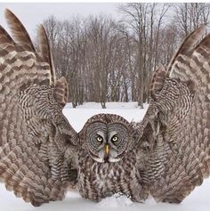 Great Grey Owl stretching his wings