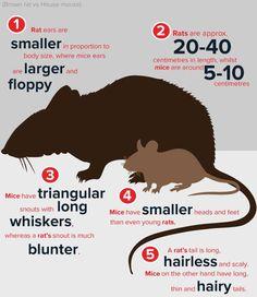 Too many mice posted on Rattit #aww #cute #rat #cuterats #ratsofpinterest #cuddle #fluffy #animals #pets #bestfriend #ittssofluffy #boopthesnoot