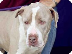 Downey, CA - Pit Bull Terrier. Meet LIGHTENING, a dog for adoption. http://www.adoptapet.com/pet/17705117-downey-california-pit-bull-terrier