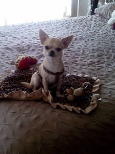 522 Best Chihuahua puppies images in 2017   Doggies