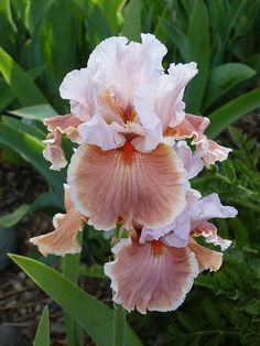 "Magharee, a tall bearded iris. Magharee's standards are pearl white flushed with pink at the midribs. Its falls are deep salmon-pink with a 1/4"" rim of white at the edges. Bright tangerine beards add a touch of class to the large ruffled blossoms."