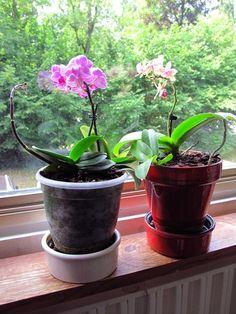 Entretenir une orchidée miniature : guide pratique : Avec leurs petites feuilles et leur petit pot, les mini phalaenopsis sont craquants ! Très florifère, le phalaenopsis nain n'a rien à envier aux grandes orchidées sur le plan esthétique. Voici quelques conseils pratiques pour bien choisir et entretenir cette orchidée miniature.