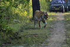 An account on tiger sightings & dynamics at Corbett last season http://www.tigerwalah.com/season-round-up-corbett/