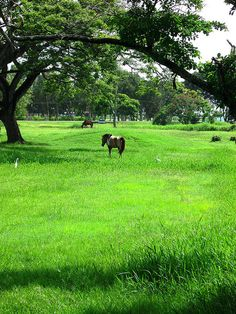 Miniature horses owned by the National Park, Georgetown, Guyana, South America     Horse Training Secrets Revealed