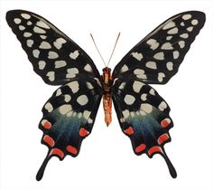 Papilio antenor - Underside, Spotted Swallowtail