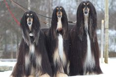 Baby Animals, Funny Animals, Afghan Hound, Professional Photography, Afghans, Dog Grooming, Dog Stuff, Dog Cat, Trees