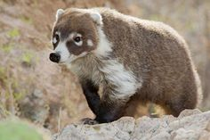 WHITE-NOSED COATIMUNDI (Nasua narica) - ©Christopher Taylor Nature Photography The White-nosed Coatimundi, frequently called just Coati — also known as the Pizote or Antoon, is a species of coati and a member of the Procyonidae (raccoon family). In Mexico, it is often referred to as Tejón, which otherwise means badger. The omnivorous White-nosed Coatis inhabit wooded areas (dry and moist forests) of the Americas. They are found at any altitude from sea level to 3,500m (11,500 ft), and from…