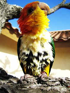 This is the type bird (caique) that my family is going to buy! They are one attention loving bird and are quite smart and trainable!