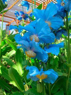 Meconopsis 'Lingholm' Himalayan Blue Poppy